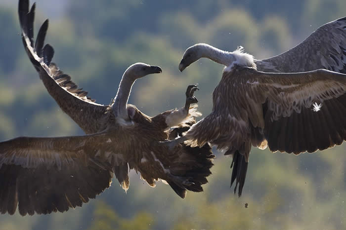griffons in an aerial tussle