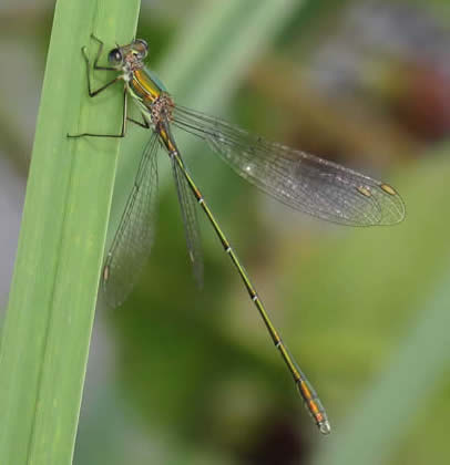 Willow Emerald (Derek Longe)
