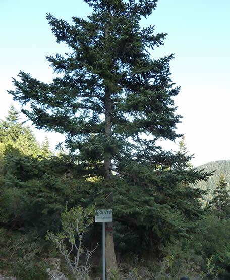 Abies cephalonica Grecian fir