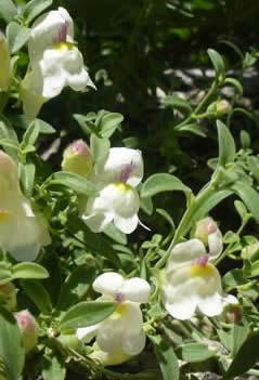 Antirrhinum pulverulentum