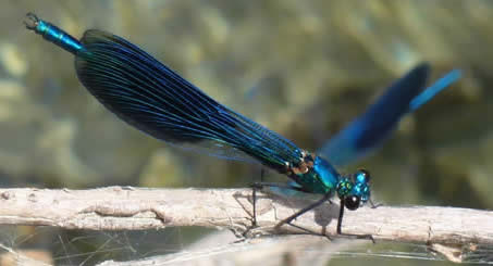 Banded Demoiselle, distinctive cretensis form