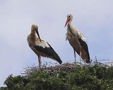 white storks' nest, Crete