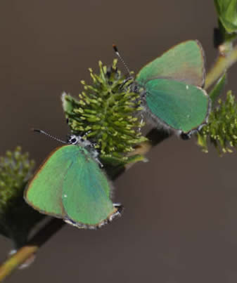 Green hairstreaks (David Collins)