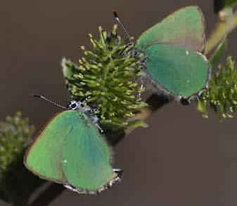 Green hairstreaks (David Collins)