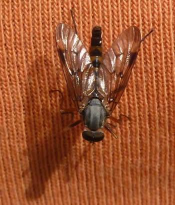 Downlooker snipefly Rhagio scolopaceus