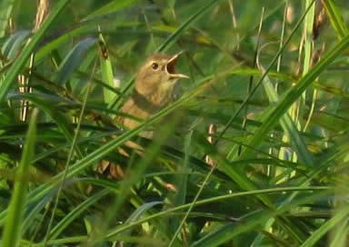 grasshopper warbler (Derek Longe)