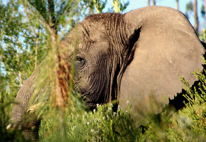 Since the mid-2000s, research has emerged that suggests the existence of at least five elephants. ©SANParks