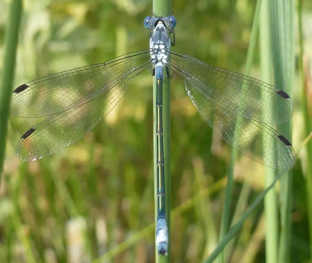 Dark Spreadwing Lestes macrostigma
