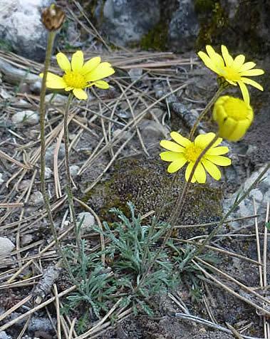 Leucanthemopsis pallida  subsp. virescens
