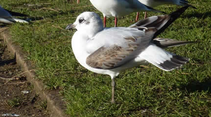 Mediterranean gull, 1st winter