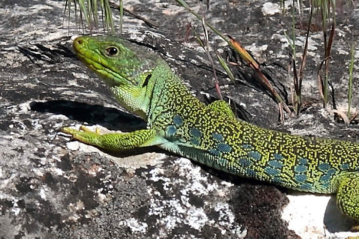 Occelated lizard (Pau Lucio)