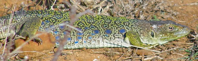 occellated lizard