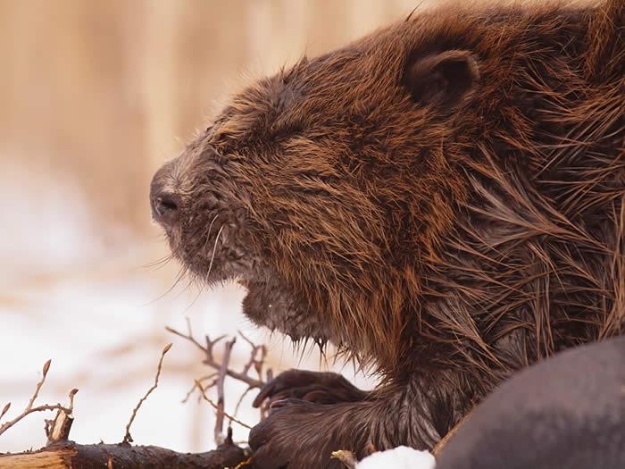 Beaver by Piotr Dombrowski