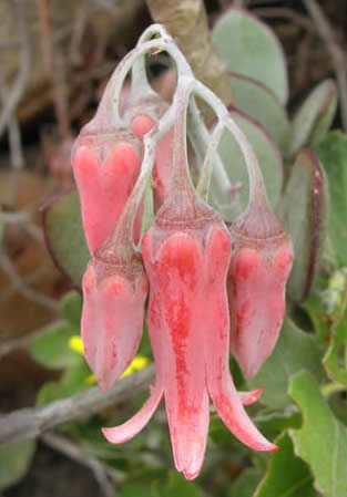 Pigs ear Cotyledon orbiculata