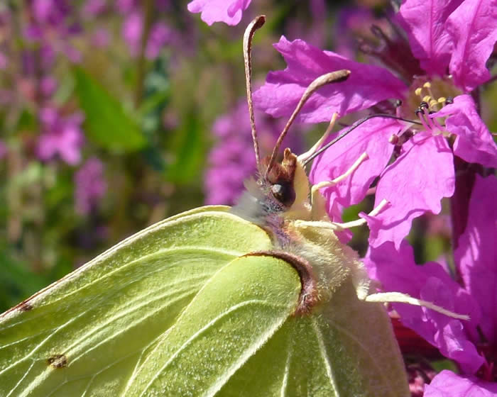 brimstone close-up