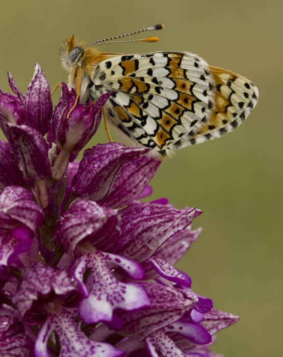 Glanville fritillary on lady orchid