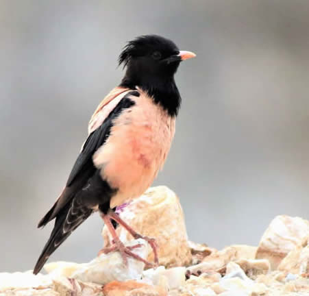 Rosy starling (Neophron)