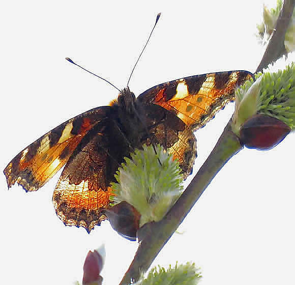 small tortoiseshell on willow catkin
