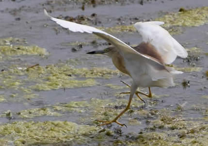 squacco heron (Dawn Stevens)