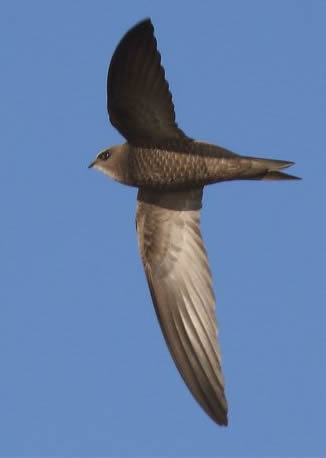 pallid swift (Rob Carr)
