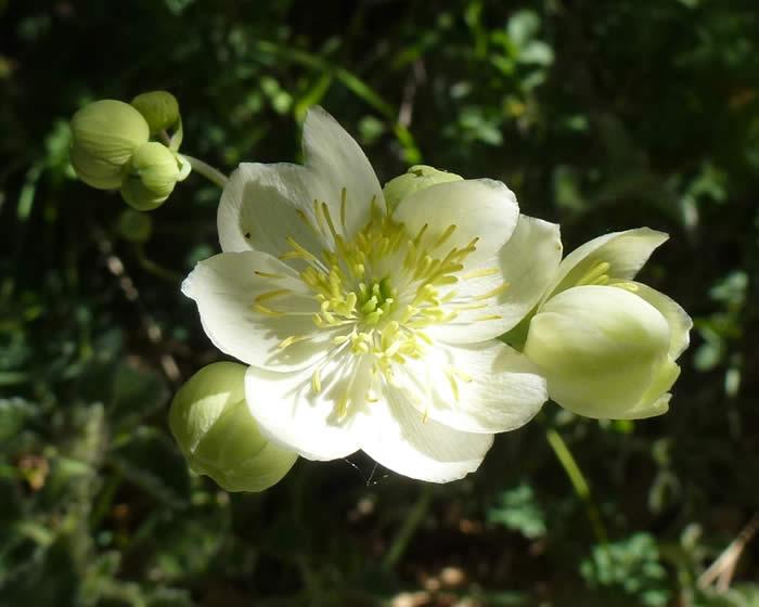 Thalictrum tubersosum