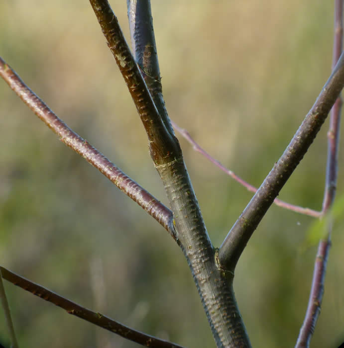 egg laying scars of Willow Emerald