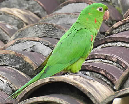 white-eyed parakeet