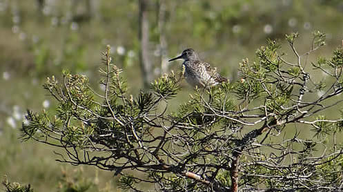 Wood sandpiper (John Rumpus)