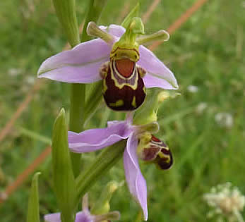 bee orchid in central Norwich
