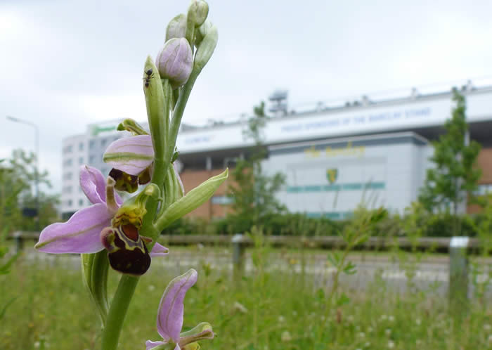 bee orchid: Norwich City FC behind