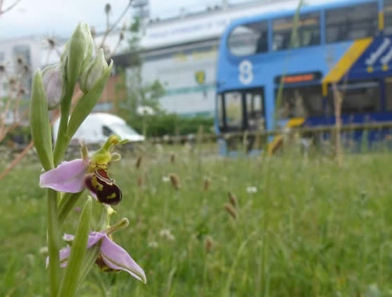 bee orchid and bus