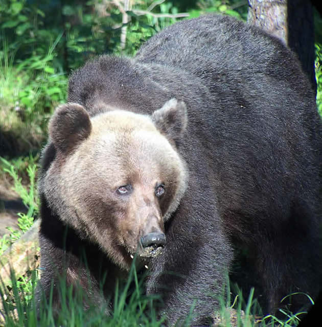 brown bear, Estonia