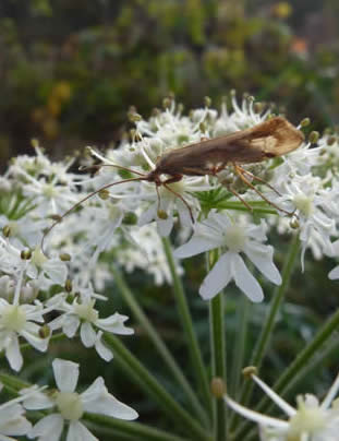 hogweed with caddis-fly