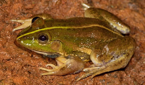 The newly-discovered frog species © Seshadri K S