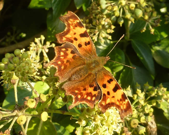 comma on ivy