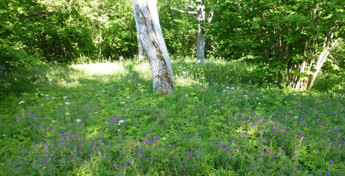 wood-meadow with cow-wheats