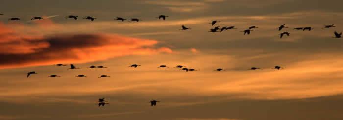 Cranes in Gallocanta