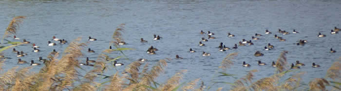 tufted ducks and pochards, 31 October