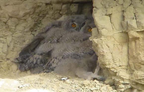 eagle owlets