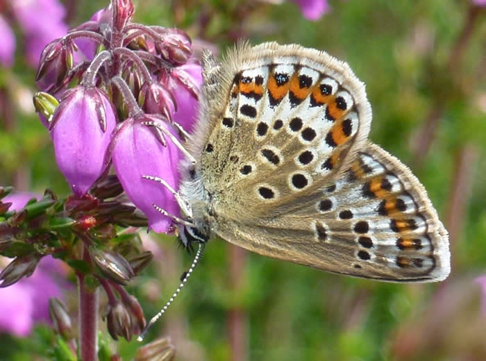 silver-studded blue: female underside
