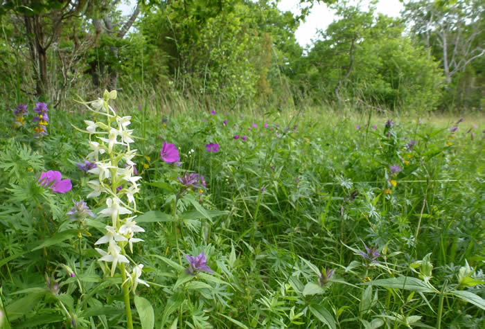 wood-meadow with lesser butterfly orchid