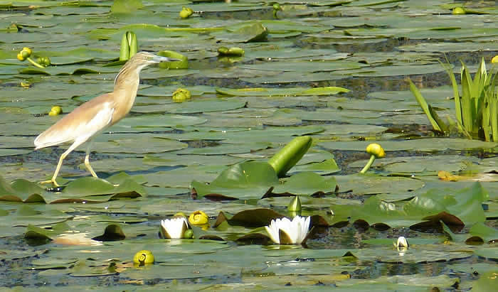 water lilies and squacco heron