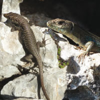 Greek rock lizard (L) and Peloponnese wall lizard (R)