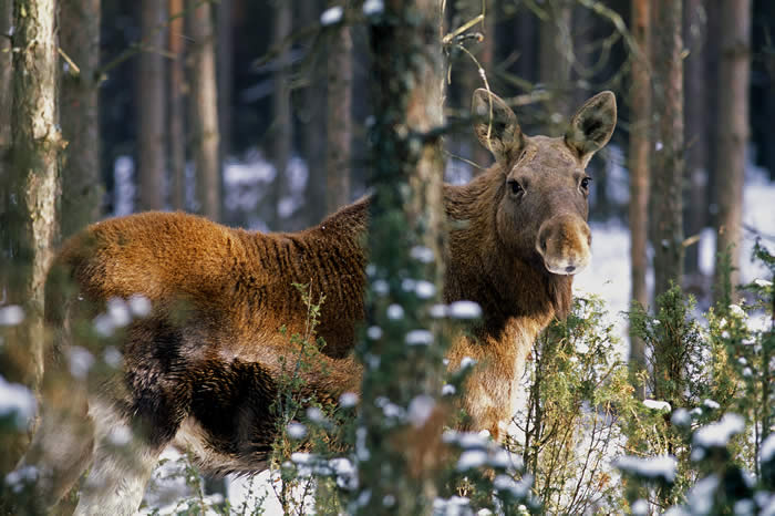 elk by Piotr Talalaj