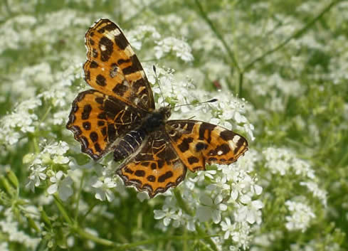 map butterfly, Dordogne