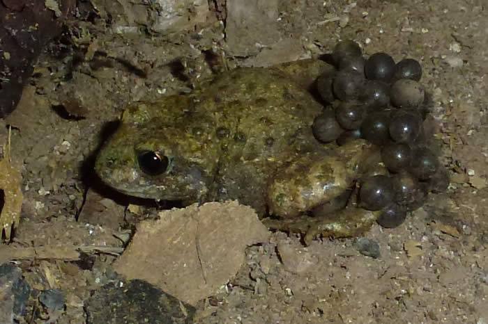 midwife toad