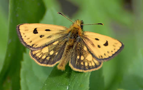northern chequered skipper