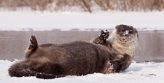 Otter in Biebrza NP (Piotr Dombrowski)