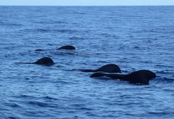 short-finned pilot whales, Madeira