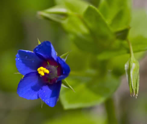 scarlet pimpernel, blue-flowered form